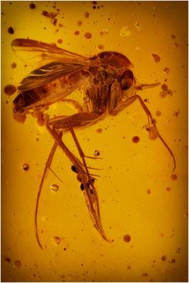 85.  Mycetophilidae, Pilzmücke, Baltic Amber