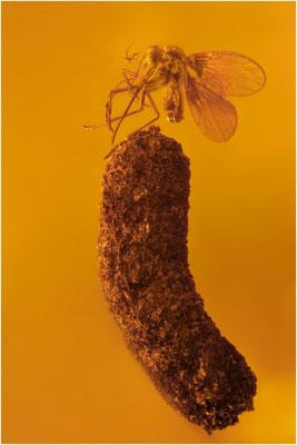 418. Nematocera, Mücke auf Köcher, Dominican Amber