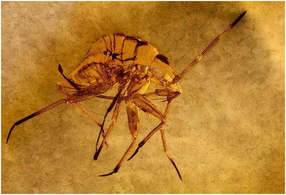 98. Heteroptera, Wanze, Baltic Amber