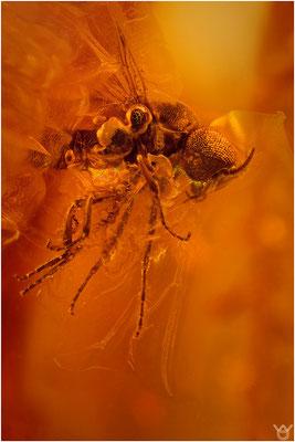 394. Simuliidae, Kriebelmücke, Baltic Amber