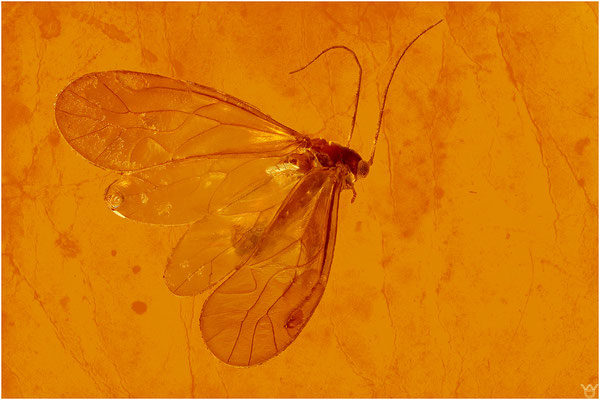 413. Psocoptera, Staublaus, Baltic Amber
