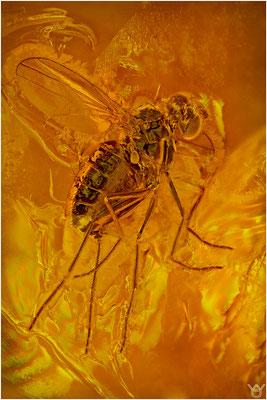 369. Brachycera, Fliege, Baltic Amber