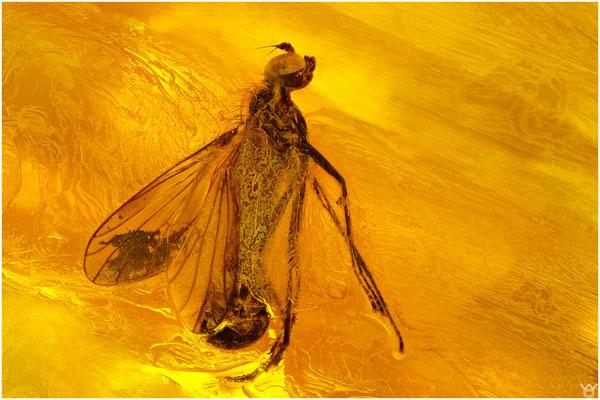 718, Brachycera, Fliege, Baltic Amber