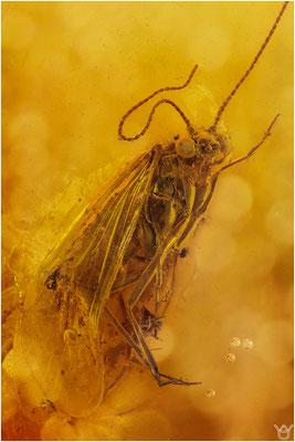 356. Trichoptera, Köcherfliege, Baltic Amber