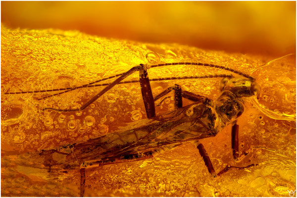 986, Plecoptera, Steinfliege, Baltic Amber