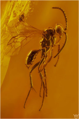 352. Hymenoptera, Wespe, Baltic Amber