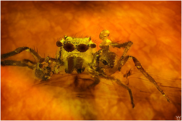 765, Salticidae, Springspinne, Baltic Amber