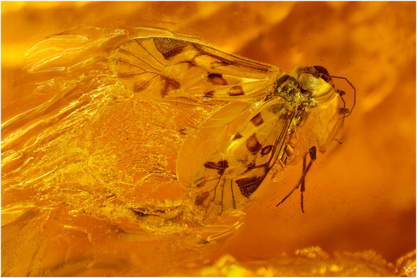 722b, Psocoptera, Staublaus, Baltic Amber