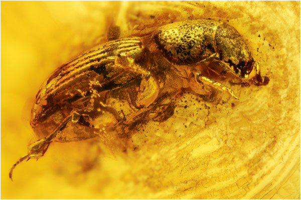 408. Scarabaeidae, Skarabäen, Baltic Amber