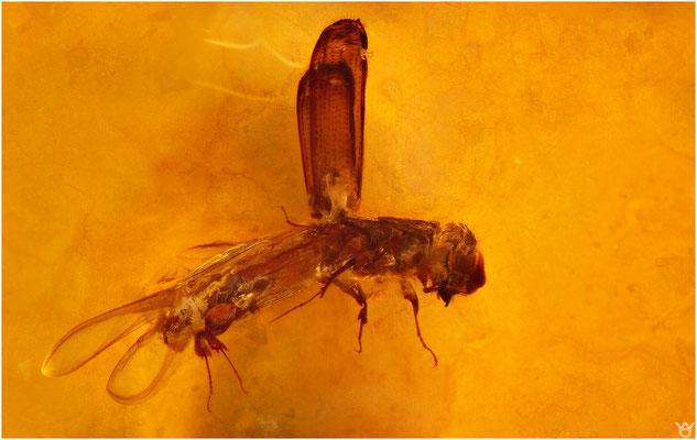 729,Colydiidae, Rindenkäfer, Baltic Amber