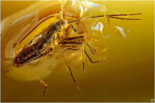 366. Miridae, Weichwanze, Baltic Amber
