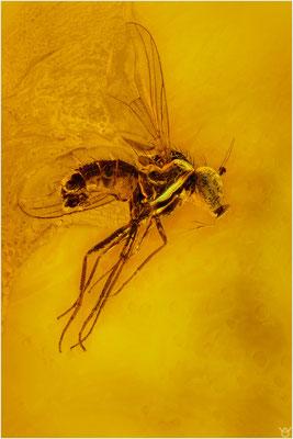 984, Dolichopodidae, Langbeinfliege, Balic Amber