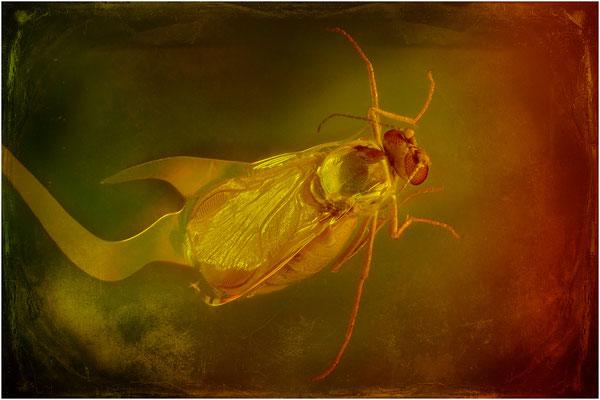 92. Ceratopogonidae, Gnitze, Baltic Amber