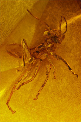 95. Mantophasmatode, Gladiatorenschrecke, Baltic Amber