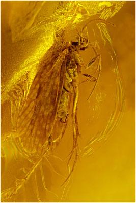 88. Trichoptera, Köcherfliege, Baltic Amber