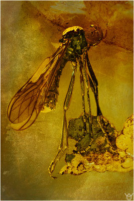 364. Brachycera, Fliege, Baltic Amber