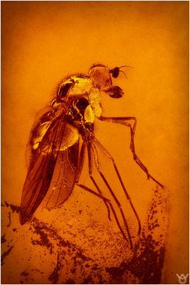 396. Brachycera, Fliege, Baltic Amber