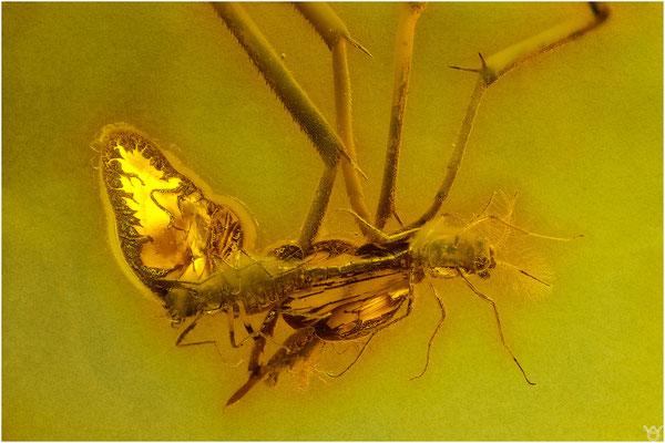 708, Nematocera, Mücken, Baltic Amber