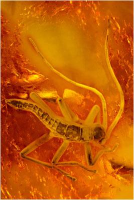 107. Phasmatodea, Stabheuschrecke, Baltic Amber