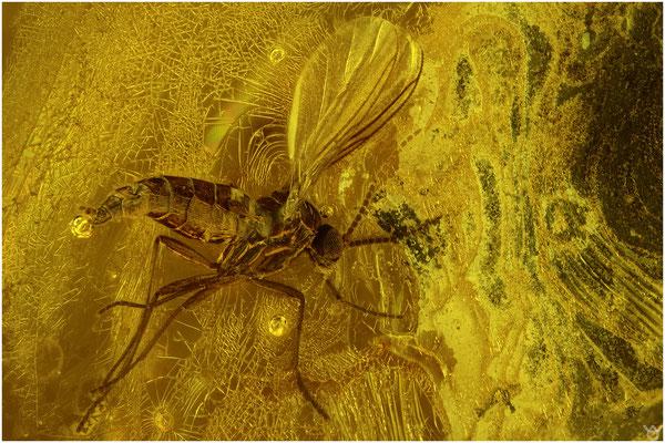 1703b, Nematocera, Mücke, Baltic Amber