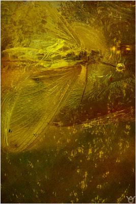 361. Emphemeroptera, Eintagsfliege, Baltic Amber