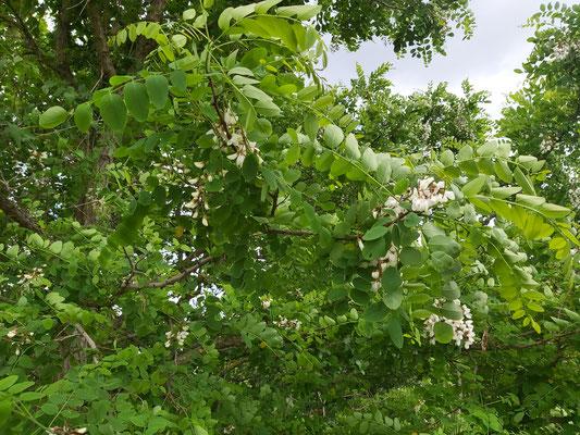 Hier sind die begehrten Blüten.