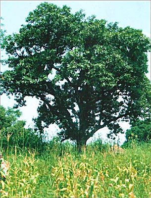 Sherebutterbaum