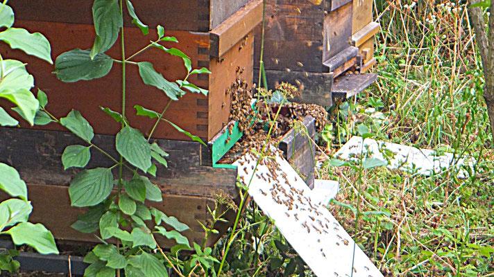 Honigernte in unserem Garten