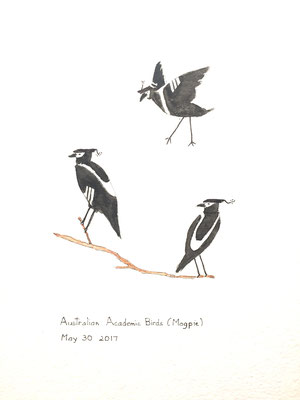 Australian Academic Birds (Magpie) May 30 2017