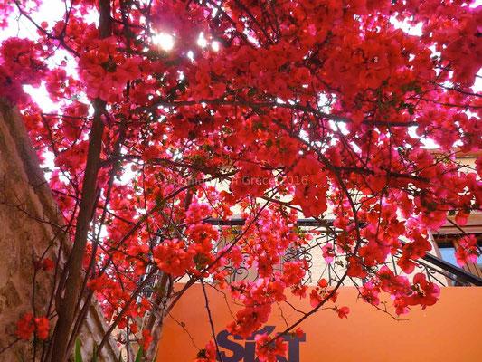 Fleurs flamboyantes