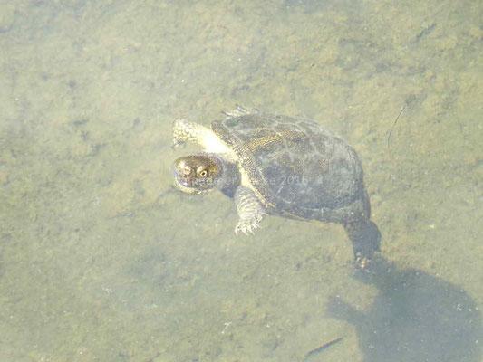 Le site est envahi de petites tortues aquatiques