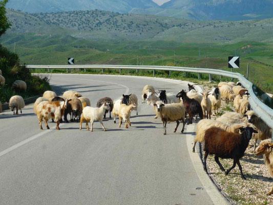 Des moutons qui prennent leurs aises