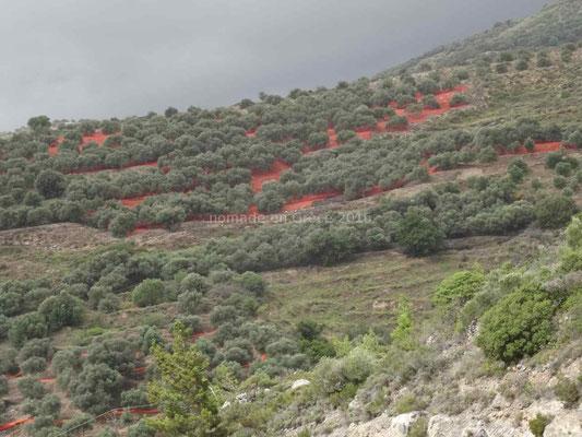 Les filets rouges sous les oliviers