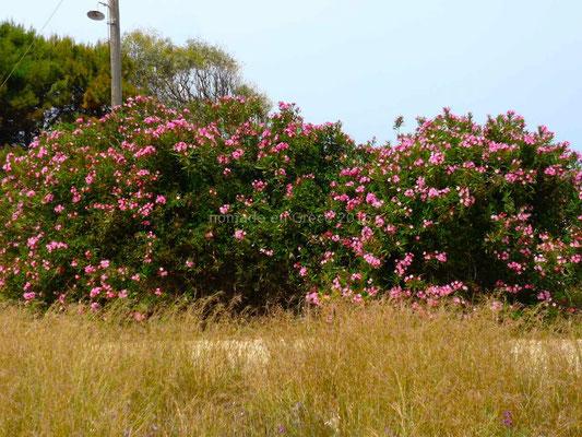 Les lauriers-roses sont en fleurs