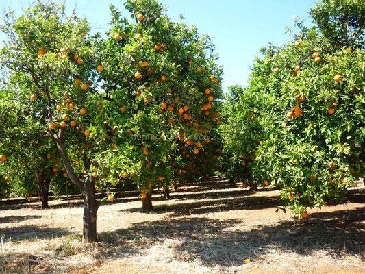 La région est productrice d'oranges.
