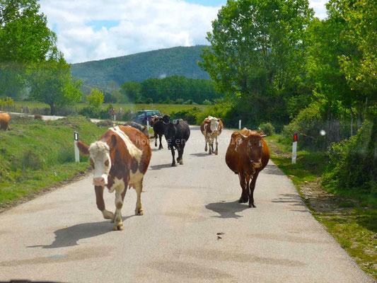 Nous devons partager la route avec les vaches.