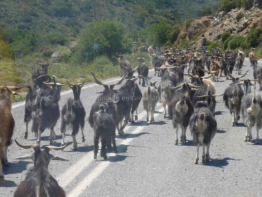 Sur la route un troupeau de plus de 100 chèvres.