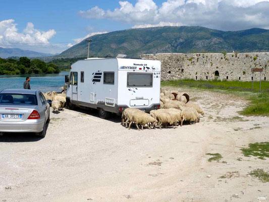 Pendant la pause déjeuner nous sommes entourés d'un troupeau de moutons.