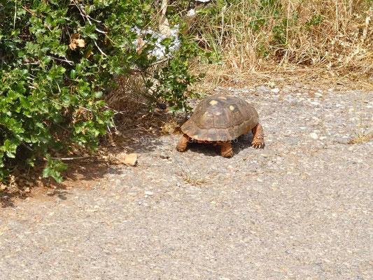 Une grosse tortue qui traverse la route et disparait... prestement.