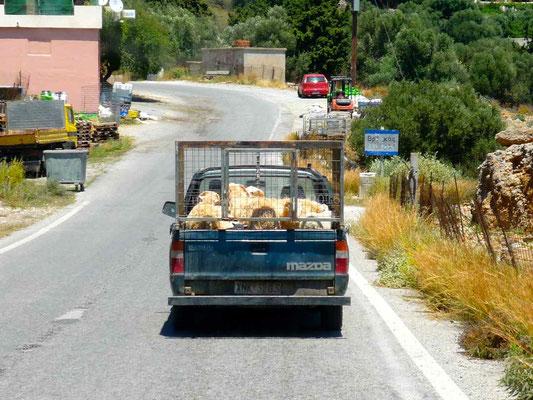Transport de moutons.