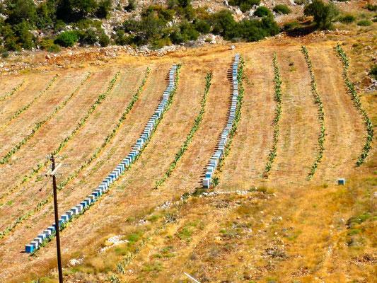 Ruches au milieu de plantations de cactus.