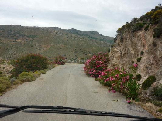 Les lauriers-roses poussent sur la route.