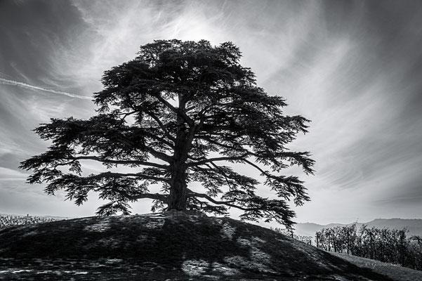 Il cedro delle Langhe