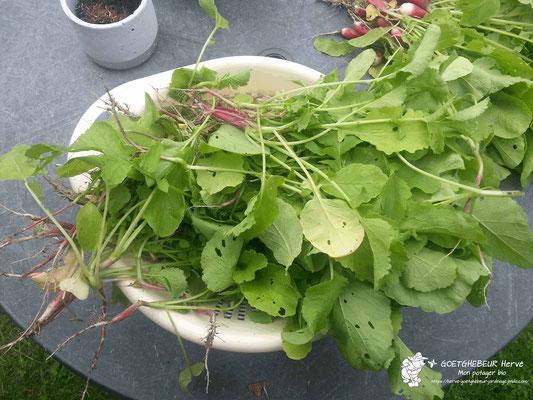 """Démariage de plants de radis, afin de faire grossir les autres, avant d'être transformés en une délicieuse soupe de radis, carottes """"avec feuilles"""", navets et pomme de Terre du jardin."""