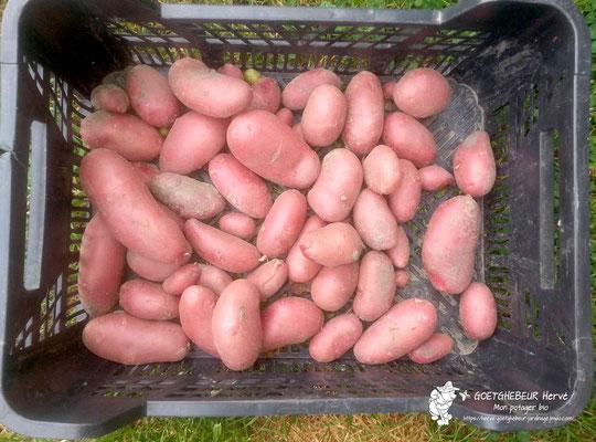Récolte de pomme de Terre.