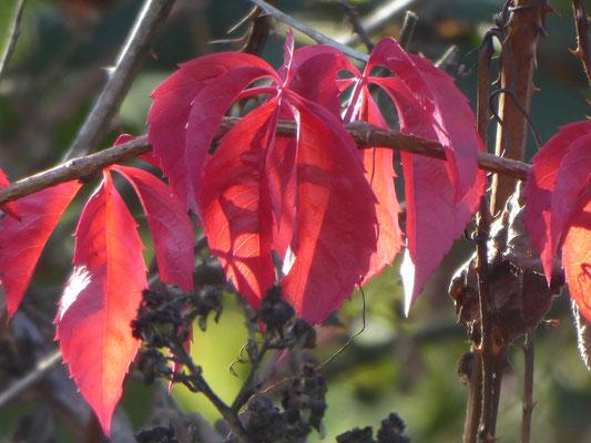 Wilder Wein - Parthenocissus quinquefolia