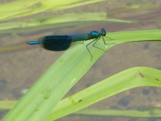 Gebänderte Prachtlibelle - Calopteryx splendens. Sehr oft mit der Blauflügel-Prachtlibelle vergesellschaftet.