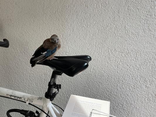 Eichelhäher - Jungvogel - seine Eltern haben ihn wieder abgeholt