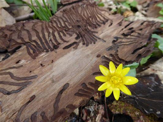 Scharbockskraut - Ranunculus ficaria, überall im Wald zu sehen.