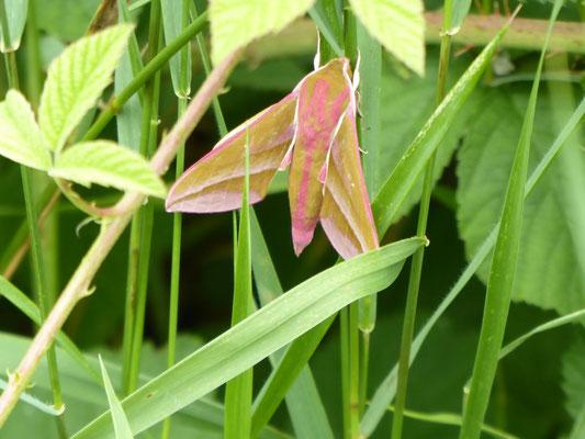 Mittlerer Weinschwärmer - Deilephila elpenor. Seine auffallende Raupe findet man an Fuchsien.